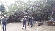 रेईयां में बरगद का पुराना पेड़ गिरा, छह घंटे बंद रहा बार्डर मार्ग