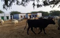 बेसहारा पशु किए स्कूल में बंद, दौड़े अफसर