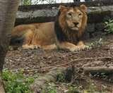 अब गोपालपुर चिडि़याघर में देख सकेंगे गुजरात के शेर, 38 दिन बाद पिंजरे से बाहर निकाला जोड़ा