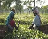 International Tea Day: कभी 1600 एकड़ में होती थी चाय की खेती, अब यादों में समाया