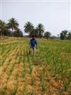 असम से लाए दो किलो काले धान के बीज, 15 बीघा में फैला