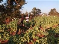 19 एकड़ जमीन में लगी अफीम की खेती की गई नष्ट