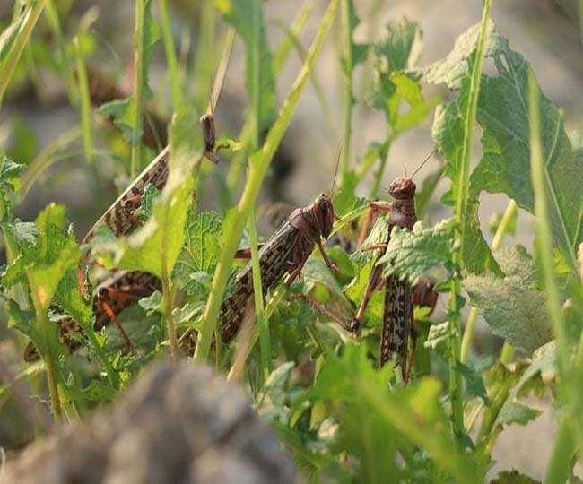 grasshopper attack brought India Pakistan closer know more