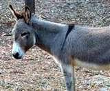 धनबाद में अब बचे मात्र सात गधे, 20वीं राष्ट्रीय पशुधन गणना में सामने आए चौंकानेवाले नतीजे Dhanbad News