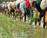 अब नई तकनीक से कम पानी में भी लहलहाएगा धान, दोगुना होगा उत्पादन Ludhiana News