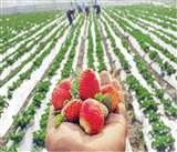 खेत खलिहान: अच्छा मुनाफा चाहिए तो यही सही समय है स्ट्राबेरी की खेती का