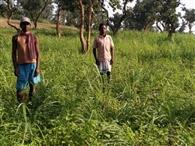 लेमन ग्रास की ओर बढ़ रहा ग्रामीणों का रुझान