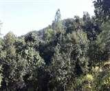 उत्तराखंड में पौधरोपण से कागज तो हो गए हरे और जंगल हुए वीरान
