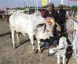 इस गाय की सुंदरता का जवाब नहीं, देश भर में जीते 16 खिताब, देसी घी खाती, गद्दे पर सोती Panipat News