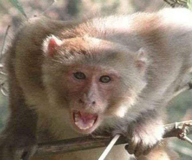 कांगड़ा: बंदरों के हमले से बच्ची सहित छत से गिरी महिला