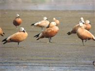 तीन और प्रजातियों के परिदे पहुंचे आसन वेटलैंड