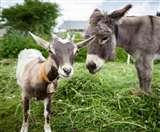बकरियों का बढ़ा कुनबा, सूअर भी बढ़ रहे लेकिन ढूंढे नहीं मिल रहे गधे Jharkhand News