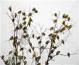 साइबेरियन हरे कबूतरों को रास नहीं आ रही हरियाणा की आबोहवा, इस बार जल्दी लौटे