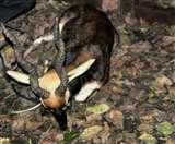 पंजाब में अस्तित्व की लड़ाई लड़ रहा काला हिरण, संख्या में आ रही लगातार गिरावट