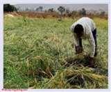 प्रधानमंत्री फसल बीमा योजना को स्वैच्छिक बनाने का निर्णय, किसानों को मिलेगा इसका लाभ