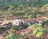 लखीमपुर के दुधवा टाइगर रिजर्व में मिला जख्मी बाघिन का शव, सिर और गर्दन पर थे गहरे घाव