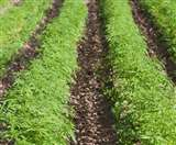भांग की खेती हटते ही अध्यादेश को हरी झंडी, छह माह से लटका था मामला
