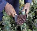 ओडिशा में गांजा की खेती को नहीं मिली अनुमति, आबकारी विभाग ने बतायी ये वजह