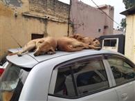 एजेंसी का चयन कर भूले आवारा कुत्तों की नसबंदी