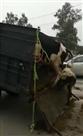 11 ट्रॉलियों में भरकर डीसी ऑफिस के सामने छोड़े 80 बेसहारा पशु