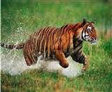 Ranthambore National Park: राजस्थान के रणथंभौर सेंचुरी में टाइगर टी-25 की मौत
