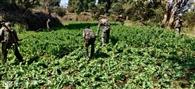 74.4 एकड़ में लगी अफीम की खेती की गई नष्ट