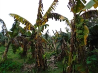 पनामा बिल्ट ने तोड़ दी केला किसानों की कमर
