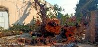 150 वर्ष पुराना पेड़ काटने पर भड़की शिवसेना