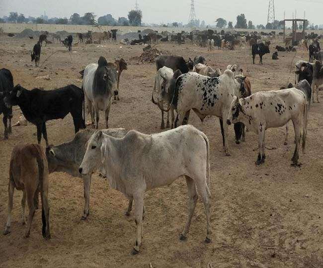 अनूठी पहल, फसल भी हुईंं सुरक्षित और मिल गया बेसहारों को सहारा Agra News