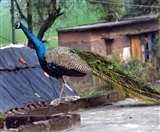 इस गांव की गलियों में घूमते हैं मोर, ग्रामीणों ने तैयार किया गांव में जंगल जैसा माहौल Gorakhpur News