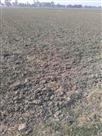गोशाला से छोड़े अन्ना पशु, 55 बीघे की फसल बर्बाद
