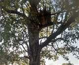 नहीं कोई ठिकाना, पेड़ पर रहती-सोती है बिजौली सिंह Jamshedpur News
