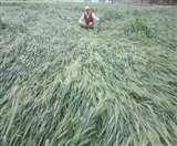 बदलते मौसम के साथ बारिश, ओलावृष्टि ने फसलों पर ढाया कहर Aligarh news