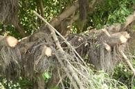 काली बेई के पीछे पेड़ों की छंटाई पर संत सीचेवाल ने जताया विरोध