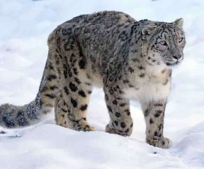 Schedule of counting snow leopards in uttarakhand has been set