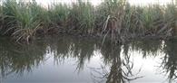 मामौर झील फिर टूटी, फसल जलमग्न