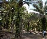 पाम ऑयल के पौधे भी बढ़ाते हैं ग्लोबल वार्मिग, ब्रिटेन के शोधकर्ताओं का दावा