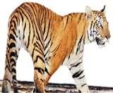 घाटशिला के बाद अब दलमा में बाघिन की सूचना से हड़कंप Jamshedpur News