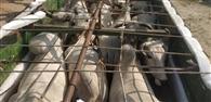 पंजाब से बिहार ले जाए रहे मवेशी भरा ट्रक पलटा
