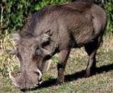 10 मिनट तक गुथमगुथ कर युवक ने सूअर को भागने के लिए किया मजबूर