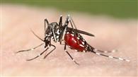 सर्द मौसम में भी डंक मार रहा मच्छर