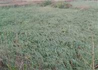 बारिश व ओलावृष्टि से फसलों को भारी नुकसान