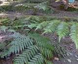 रानीखेत में मिला डायनासोर युग की दुर्लभ फर्न प्रजातियों का संसार nainital news
