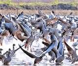 Gharana wetland: साइबेरियन राजहंसों से फिर गुलजार हुआ घराना वेटलैंड