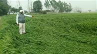 बेमौसम बारिश से चौपट हो रही फसलें, चितित किसान