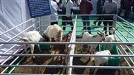 बोयर और बरबरी बकरी रही आकर्षक
