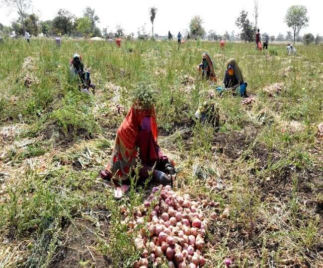 राजस्थान में बारिश के कारण प्याज की फसल खराब। फाइल फोटो