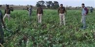 मंझारी में एक एकड़ से अधिक क्षेत्र में तैयार अफीम की फसल को पुलिस ने किया नष्ट