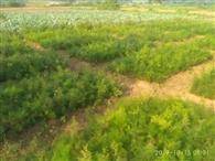 जैविक खेती से बढ़ रही सतावर के 24 हजार पौधे
