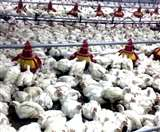 हरियाणा की मुर्गी घाटे का सौदा, पढि़ए क्यों मची अंकल सैम की वजह से हलचल